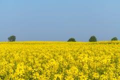 Frühlingsfelder des blühenden Rapssamens Stockfoto