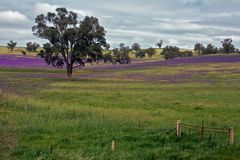 Frühlingsfelder u. purpurrote Blumen auf einem Bauernhof Stockbild