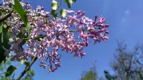 Frühlingsflieder in der Blüte Lizenzfreie Stockfotos