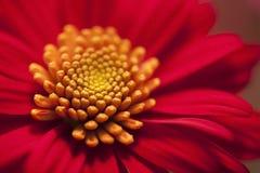 Frühlingsgänseblümchen lizenzfreies stockbild