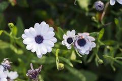 Frühlingsgänseblümchen Stockbilder