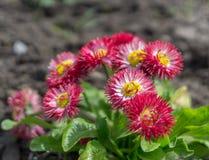 Frühlingsgänseblümchenblume Stockfoto