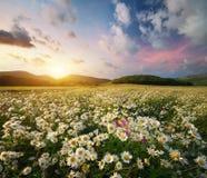Frühlingsgänseblümchenblumen stockfotografie