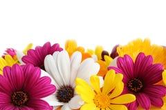 Frühlingsgänseblümchenrand Stockbilder