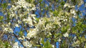 Frühlingsgarten, blühende Pflaumenbaumnahaufnahme stock footage