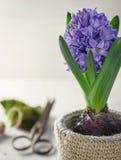 Frühlingsgarten-Blume Hyazinthe lizenzfreies stockfoto