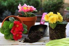 Frühlingsgartenarbeit: Primulas lizenzfreies stockfoto