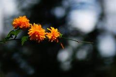 Frühlingsgartenblumen, gelb-orangee Farbe lizenzfreie stockfotos