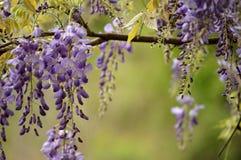 Frühlingsglyziniehintergrund mit der Blendung des grünen Laubs Stockfoto
