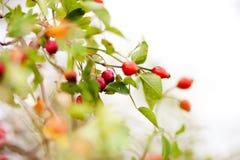 Frühlingsgrünblätter und rote Beere Stockfotografie