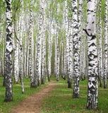 Frühlingsgrüns in der Birkenwaldung Lizenzfreie Stockfotos