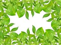 Frühlingsgrüns lokalisiert laub Laubwechselnder Ornamental Lizenzfreies Stockbild