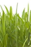 Frühlingsgras Stockfoto