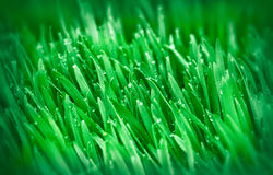 Frühlingsgras (junger grüner Weizen) Stockfotografie