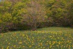 Frühlingsgras mit gelben Blumen im Catria-Berg Stockbild