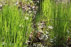 Frühlingsgras und kleine Blume Lizenzfreie Stockbilder