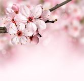 Frühlingsgrenzhintergrund mit rosa Blüte stockfotos