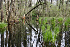 Frühlingshafter Sumpf Stockfoto