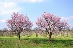 Frühlingshaftes Blühen. Stockfotos