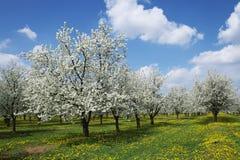 Frühlingshaftes Blühen. Stockfotografie
