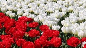 Frühlingshintergrund des Tulpenfelds stock video