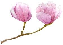 Frühlingshintergrund mit Aquarellniederlassung der Magnolie Hand gezeichnete botanische Illustration Stockfotos