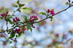 Frühlingshintergrund mit blühendem Apfelbaumast Lizenzfreies Stockbild