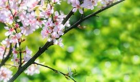 Frühlingshintergrund mit chinesischer Kirschblütennahaufnahme Stockfotos
