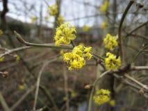 Frühlingshintergrund mit Gelb blüht Baumbrunchs Stockfotos