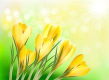 Frühlingshintergrund mit gelbem Krokus vektor abbildung