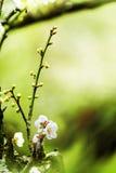 Frühlingshintergrund mit Pflaumenblumen Stockbild