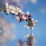 Frühlingshintergrund mit rosafarbener Mandelblume Lizenzfreies Stockbild