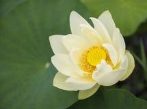 Frühlingshintergrund mit schöner Seerose Stockfotos