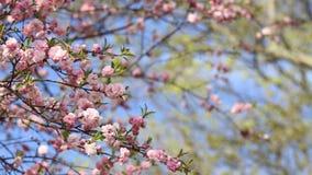 Frühlingshintergrund von Kirschblüte-Baum stock video
