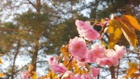 Frühlingshintergrund von Niederlassungen von rosa Kirschblüten Die Niederlassungen eines blühenden Baums und des Winds, die sie b stock video footage