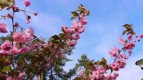 Frühlingshintergrund von Niederlassungen von rosa Kirschblüten Die Niederlassungen eines blühenden Baums und des Winds, die sie b stock footage