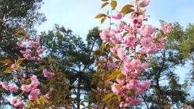 Frühlingshintergrund von Niederlassungen von rosa Kirschblüten Niederlassungen eines blühenden Baums, der in den Wind gegen das B stock video