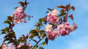 Frühlingshintergrund von Niederlassungen von rosa Kirschblüten Niederlassungen eines blühenden Baums, der in den Wind gegen das B stock video footage