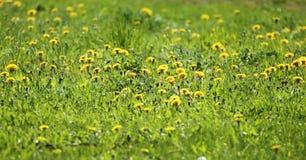 Frühlingshintergrund, Wiese mit gelben Blumen Stockbilder