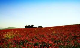 Frühlingshochkonjunktur, rosafarbenes Blumen pairie, Trapani Sizilien Stockbild