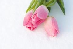 Frühlingskarte mit Tulpen im Schnee Stockfoto