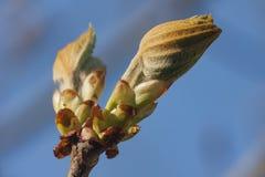 Frühlingskastanienknospe gegen den Himmel Stockfoto