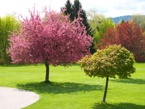 Frühlingskirschbäume in der Blüte Stockbild