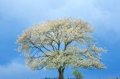 Frühlingskirschbaum in der Blüte auf grüner Wiese unter blauem Himmel Tapezieren Sie in den weichen, neutralen Farben mit Raum fü Stockbild
