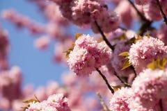 Frühlingskirschblühen Stockbilder