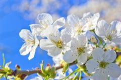 Frühlingskirschblüte Stockbild