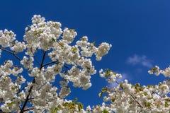 Frühlingskirschblüte ihre schönen weißen Blumen Lizenzfreies Stockbild
