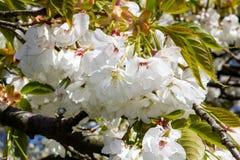 Frühlingskirschblüte mit schönen weißen Blumen Stockfoto