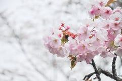 Frühlingskirschblüte mit Weichzeichnungsnahaufnahme Stockfoto
