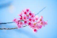 Frühlingskirschblüten lizenzfreies stockfoto